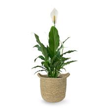 Lepelplant in Nelis naturel pot