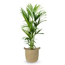 Kentiapalm in Nelis naturel pot