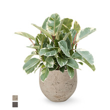 Ficus Elastica Tineke in Mini kevan