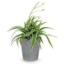 Artstone   Spiderplant