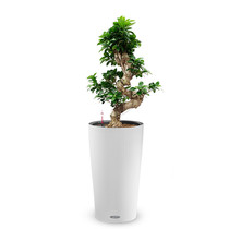 Lechuza Ficus Bonsai in Zelfwatergevende Cilindro