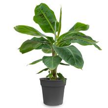 Bananenplant Musa Tropicana S
