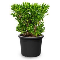 Crassula Horntree XXL