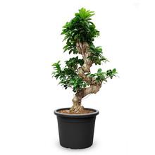 Ficus Bonsai S-vorm L