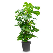 Monstera Gatenplant mosstok XL