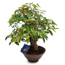 Bonsai Acer Ginnila