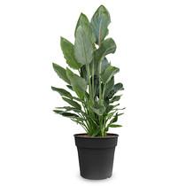 Strelitzia reginae M