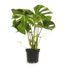 Monstera Gatenplant Bush S