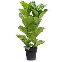 Ficus Lyrata M