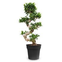 Ficus Bonsai M
