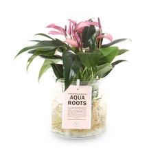 Aqua Roots Zizou Anthurium