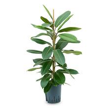 Ficus Americana Tresor