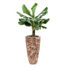 Bananenplant in Facets Coco Pot