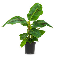 Bananenplant Musa XS
