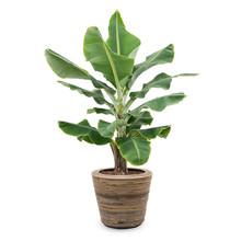 Bananenplant Musa Tropicana in Rotan pot