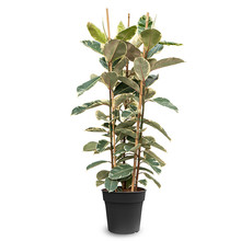 Ficus Elastica Tineke L