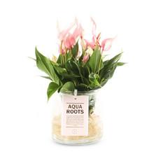 Aqua Roots Lilli Anthurium