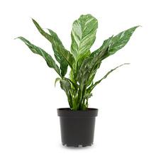 Variegata Spathiphyllum