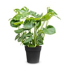 Monstera Gatenplant Bush L
