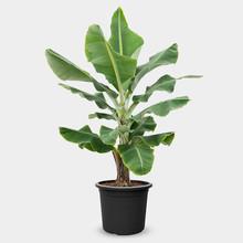 Bananenplant Musa Tropicana L