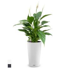 Lechuza Lepelplant in Cilindro All Inclusive