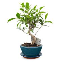 Bonsai Ficus met steendecoratie
