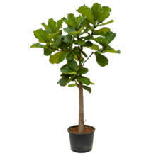 Hydroplant Ficus Lyrata