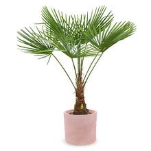 Terracotta   Trachycarpus