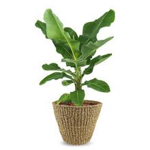 Musa Bananenplant in Jip pot