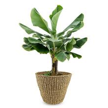 Bananenplant Musa Tropicana XL in Jip pot