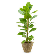 Ficus altissima Yellow Gem in Jip pot
