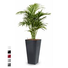 Hydroplant Howea Forsteriana