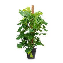 Monstera Gatenplant mosstok L