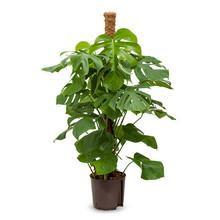 Hydroplant Philodendron pertusem (monstera)
