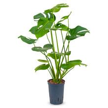 Hydroplant Monstera