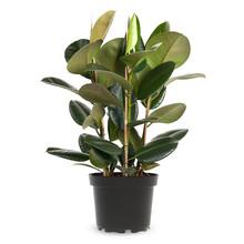 Ficus Robusta S