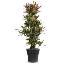 Croton Wonderstruik Mammi L