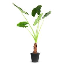 Alocasia Macrorrhiza XL