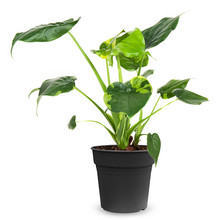 Alocasia cucullata variegated