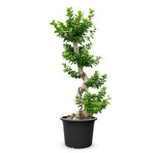 Ficus Bonsai L