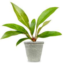 Babyplant Anthurium jungle king