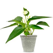Babyplant Anthurium wit