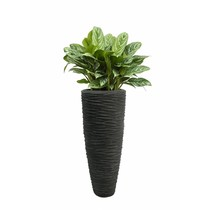Aglaonema in Polystone pot