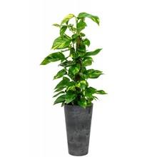 Artstone Scindapsus in Artstone pot