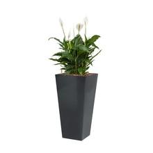 Lepelplant in antraciete zelfwatergevende pot