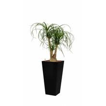 Hydroplant Beaucarnea
