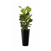 Ficus Vioolblad in zwarte zelfwatergevende Runner