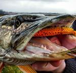 Roofvis - Streetfishing