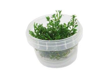 Plantes InVitro