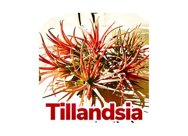 Tillandsias